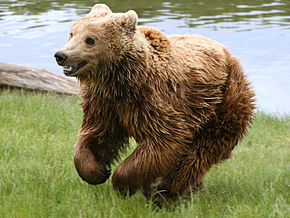 Chandeleur dans Culture brown_bear_ursus_arctos_arctos_running
